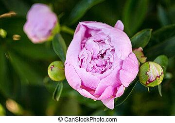 Peony Buds - Light pink peony flower bud opening it petals