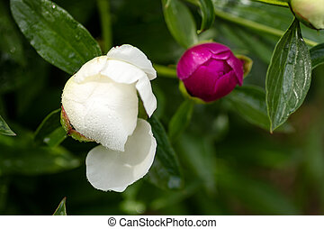 Peony Buds - White and dark pink peony flower buds getting...