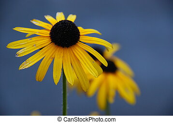 Brown Eyed Susans taken at the height of summer in Southern...