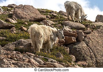 Goats - Large rocky mountain goats standing on rocks high in...