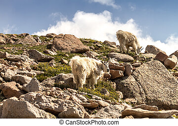 Goats - 2 large rocky mountain goats standing on rocks at...