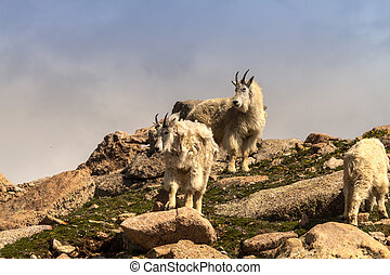 Goats - Large mountain goats standing on rocks on mountain...