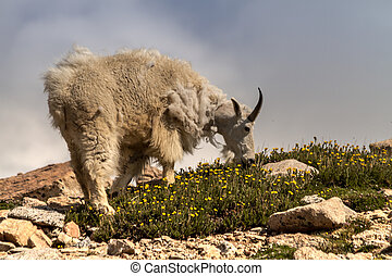 Goats - Large mountain goats eating grass on mountain top
