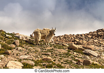 Goats - Large mountain goats standing on rocks at the top of...