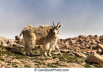 Goats - Rocky mountain goat standing on mountain top
