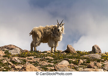 Goats - Large male mountain goat standing on rock ledge on...