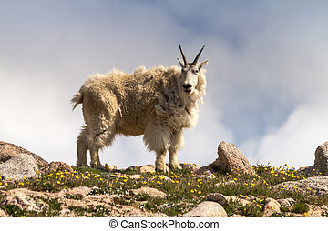 Goats - Close up of large male mountain goat standing on...