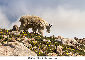 Goats - Large male mountain goat walking down mountain ledge...