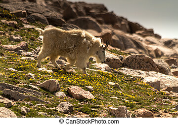Goats - Large rocky mountain goats walking down a mountain...