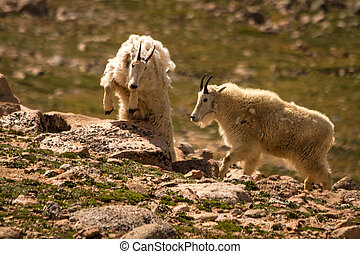 Goats - 2 large rocky mountain goats leaping up rocks at top...