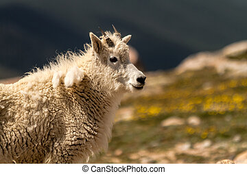 Goats - Close up of female mountain goat standing on rocks...
