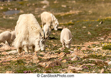 Goats - Female and baby mountain goat grazing in mountain...