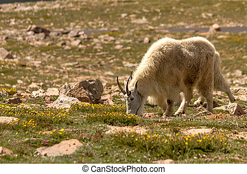 Goats - Large male mountain goat grazing in mountain meadow...