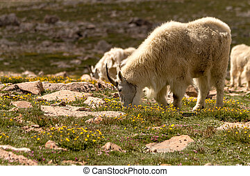 Goats - Close up of a large male mountain goat grazing in...