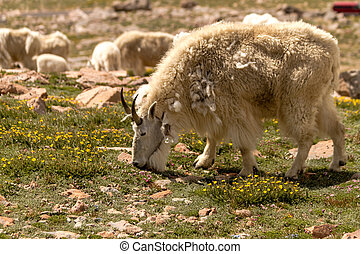 Goats - Close up of large male rocky mountain goat grazing...