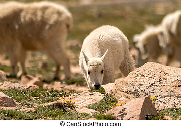 Goats - Small baby mountain goat eating grass in high...