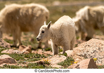 Goats - Small baby mountain goat standing in grass in high...