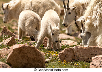 Goats - Small baby mountain goat grazing with mountain goat...