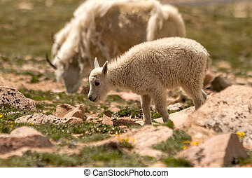 Goats - Mountain goat kid walking in high mountain meadow
