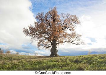 bicentenario, roble, árbol