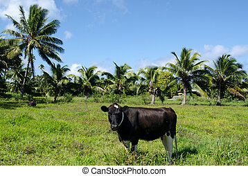 Two cows in Pacific Island - RAROTONGA - SEP 21:Two cows...