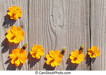 cosmos flowers, wooden background - orange cosmos flowers...
