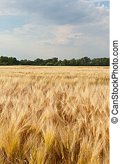 Barley in field.