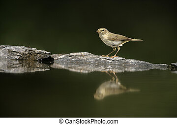 Chiffchaff, Phylloscopus collybita, single bird at water,...