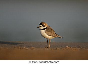 Collared plover, Charadrius collaris, single bird by...
