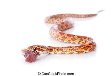 eating corn snake, elaphe guttata in front of white...