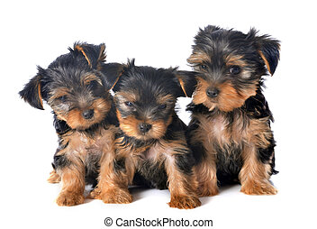 puppies yorkshire terrier in front of white background