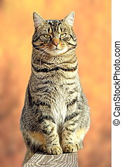 big fat cat relaxing on fence - big fat striped cat relaxing...