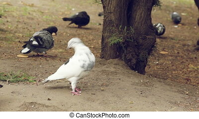 White Dove - White dove among pigeons in the dark looking...
