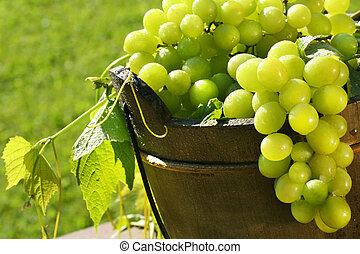 Green grapes in the sun - Green grapes in the summer sun
