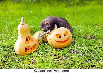 Ferret and pumpkins