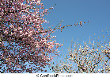 Cherry and plum blossoms - Cherry blossom in front of plum...