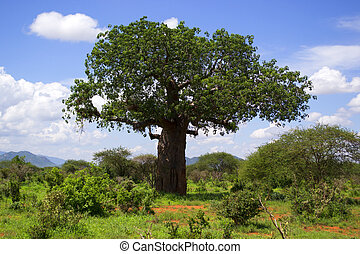 Large tree in a wildness - Baobab in Kenya, Africa