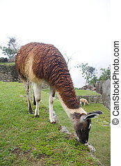 substr(Machu Picchu Llamas,0,200) - substr(Machu Picchu is a...