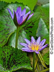 Water Lilly flower - Purple water lilly flower in bloom
