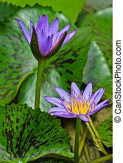 Water Lilly flower - Purple water lilly flower in bloom