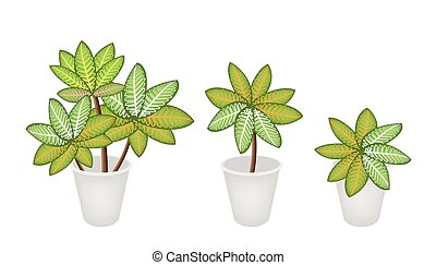 Dieffenbachia Picta Marianne Plants in Three Flower Pot -...