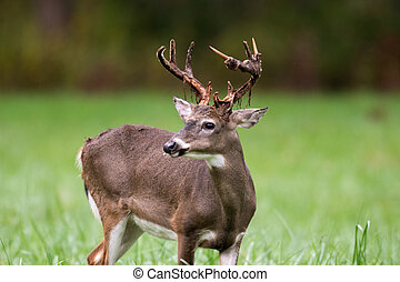 Whitetailed deer buck - A white-tailed deer buck losing its...