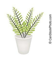 Beautiful Green Fern in A Flower Pot - Ecological Concept,...