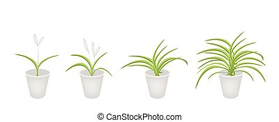 A Set of Dracaena Plant in Flower Pots - An Illustration...