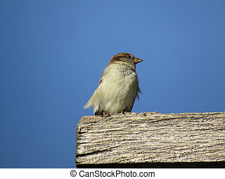 On the edge - Sparrow on the edge