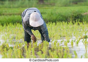 Thai farmer rice seeding on rice fields, thailand