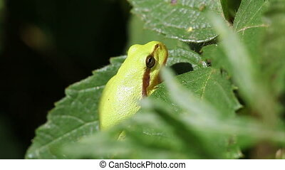European tree frog - Hyla arborea in a macro shot - eye wink