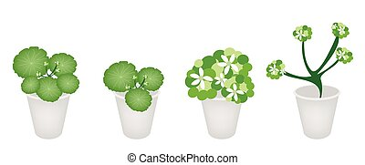 A Set of Asiatic Pennywort in A Flower Pot - Ecological...