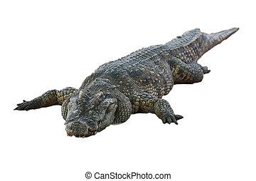 grande, isolado, jacaré, Crocodilo