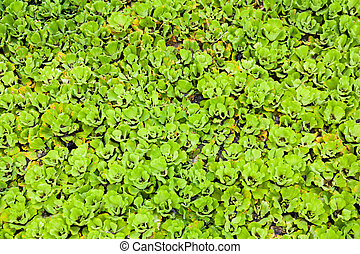 The scientific name Pistia stratiotes Lcommon name Water...